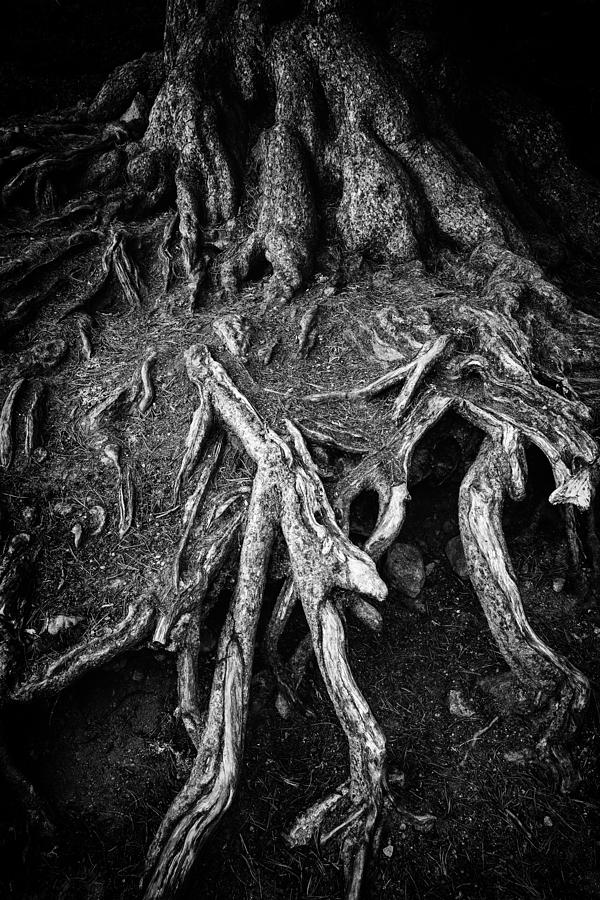 Tree Root Photograph - Tree Roots Black And White by Matthias Hauser