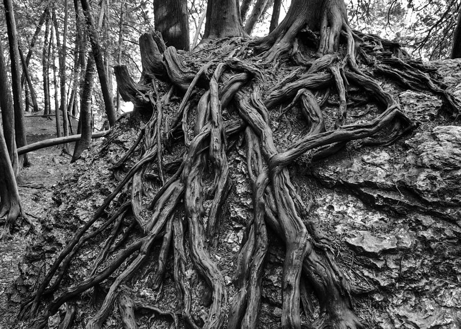 Tree Roots Photograph - Tree Roots by Paul Cannon