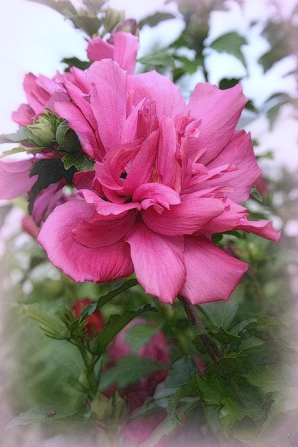 Tree Rose Of Sharon Photograph By Kay Novy