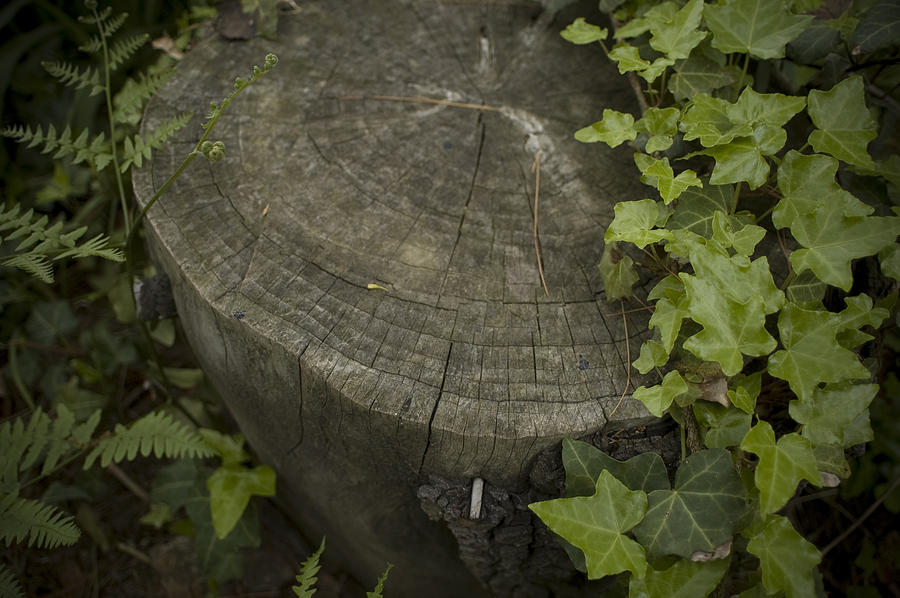 Tree Stump Photograph