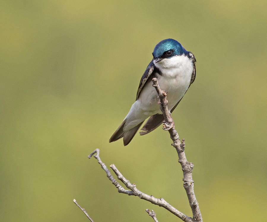 Tree Photograph - Tree Swallow by Brian Magnier