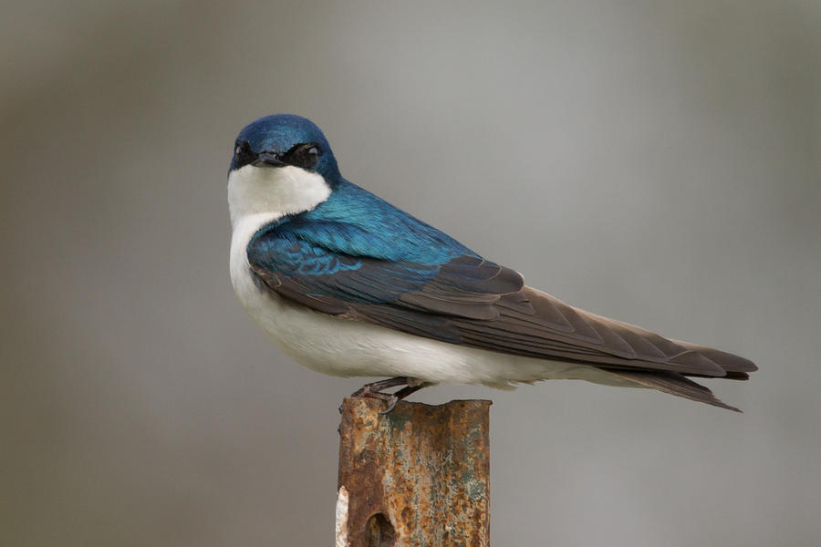 Tree Swallow Photograph - Tree Swallow In Mating Colors by Doug Underwood