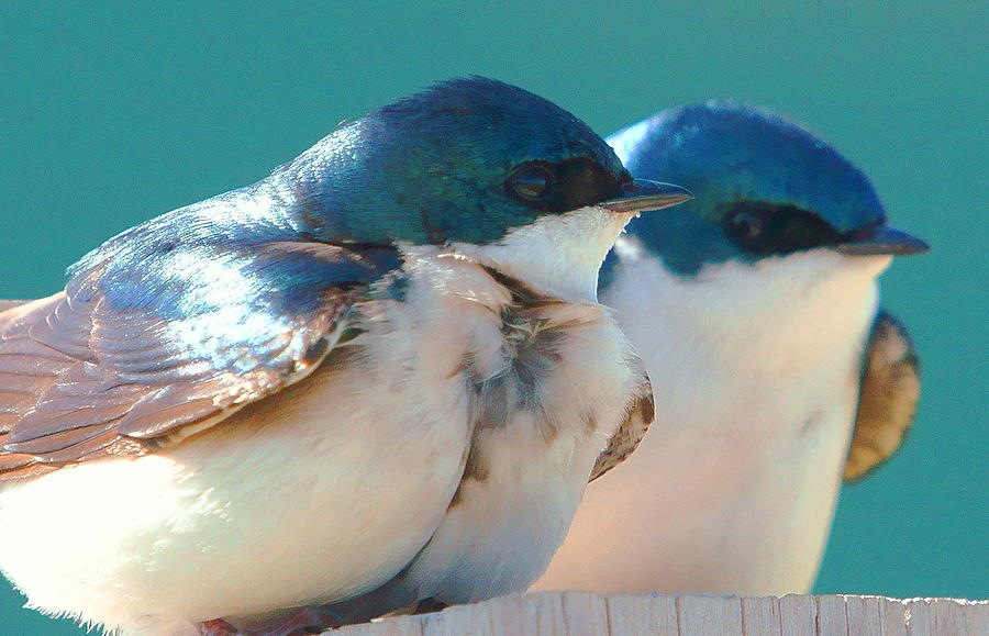 Tree Swallows Photograph - Tree Swallows by Dave Smith