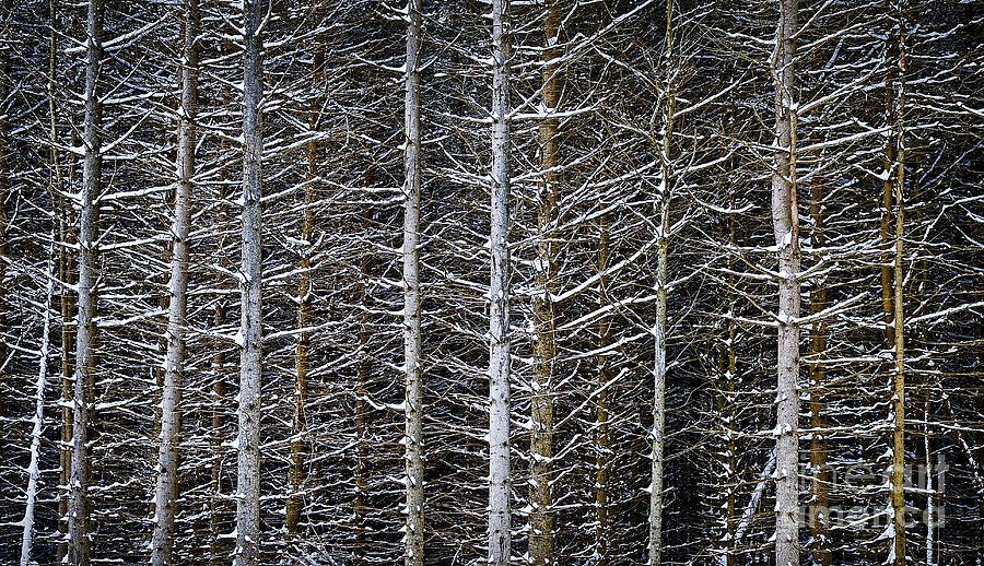 Winter Photograph - Tree Trunks In Winter by Elena Elisseeva