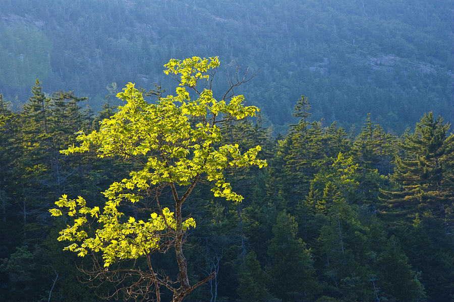 Landscape Photograph - Tree With Yellow Leaves In Acadia National Park by Randall Nyhof