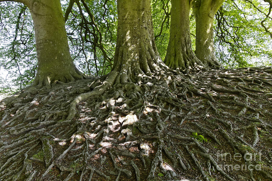 Trees Photograph - Trees And Roots Wiltshire England by Robert Preston