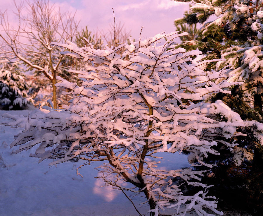 Snow Photograph - Trees Covered In Snow by Maurice Nimmo/science Photo Library