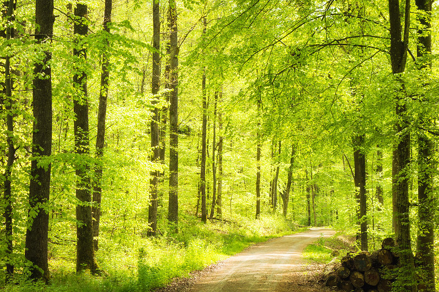 Trees In Bright Green Forest In Spring Photograph