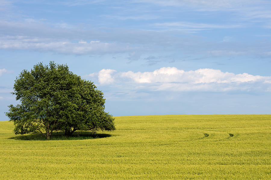 Trees In Wheat Field Photograph by Simplycreativephotography