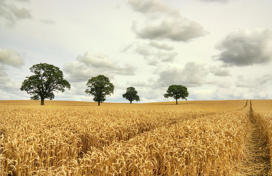 Trees Within A Harvest Crop Photograph by Gareth Hudson