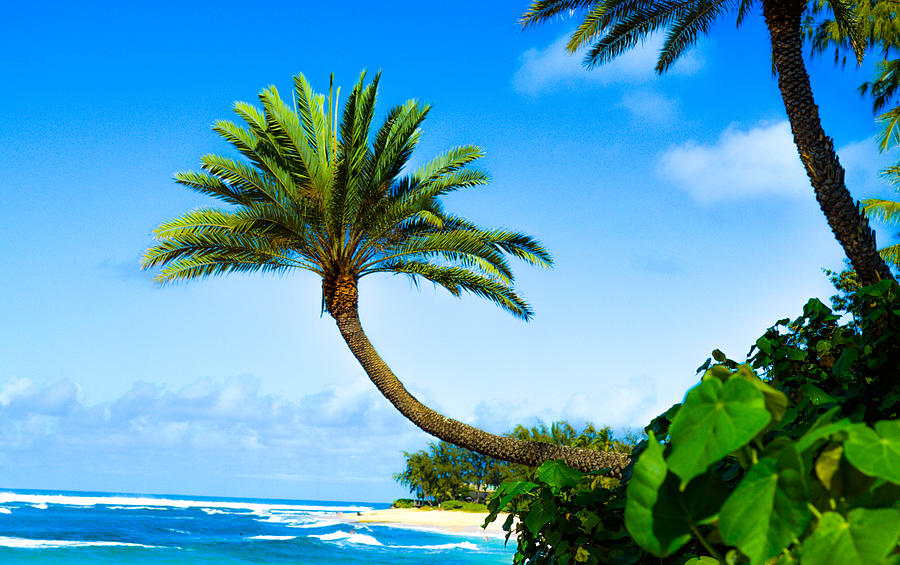 Palm Tree Photograph - Treescape North Shore by Lisa Cortez