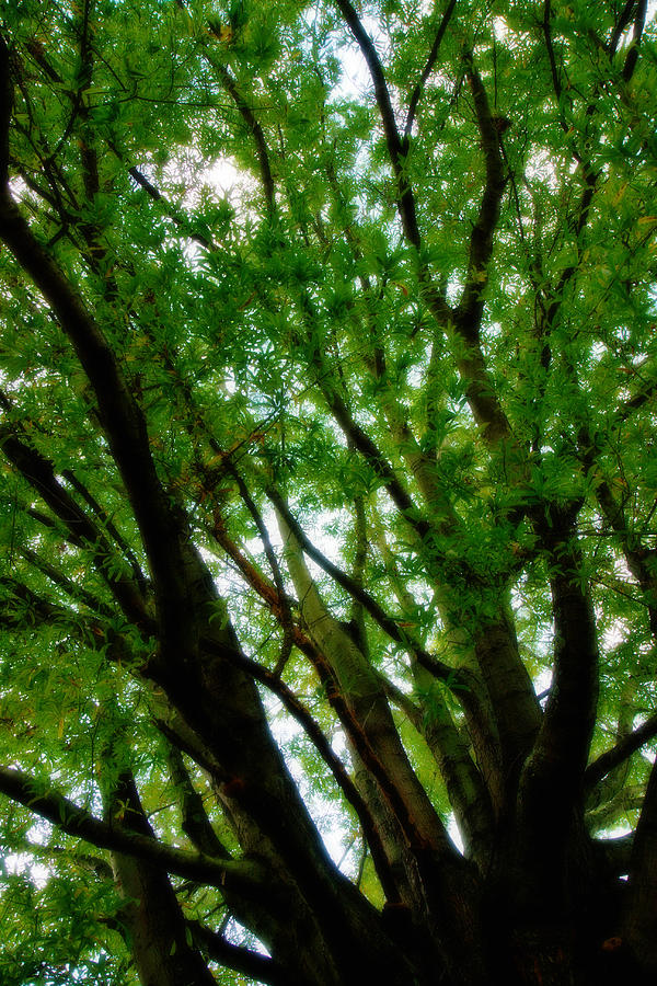 Tree Photograph - Treetops 2 by Denise Beverly
