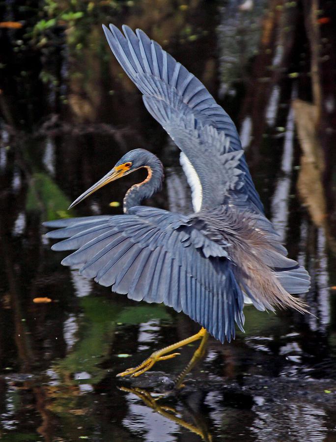 Tricolor Heron Photograph - Tri-color Dancer by Larry Nieland