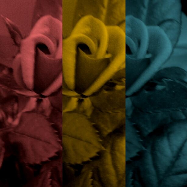 Roses Photograph - Tri Colored Roses by Chasity Johnson