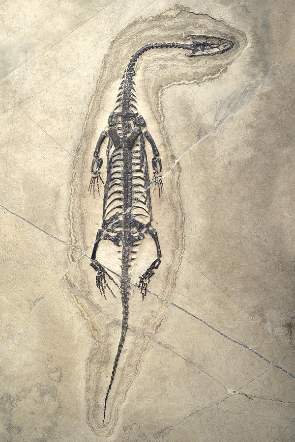Aquatic Photograph - Triassic Aquatic Reptile by Science Photo Library