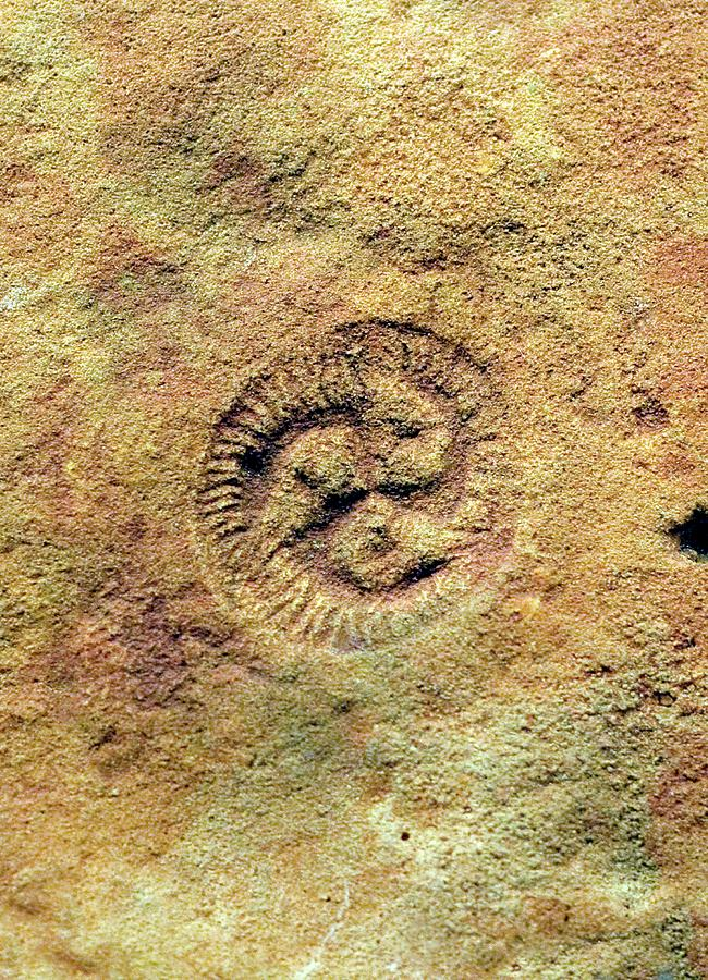 Animal Photograph - Tribrachidium Fossil by Sinclair Stammers/science Photo Library