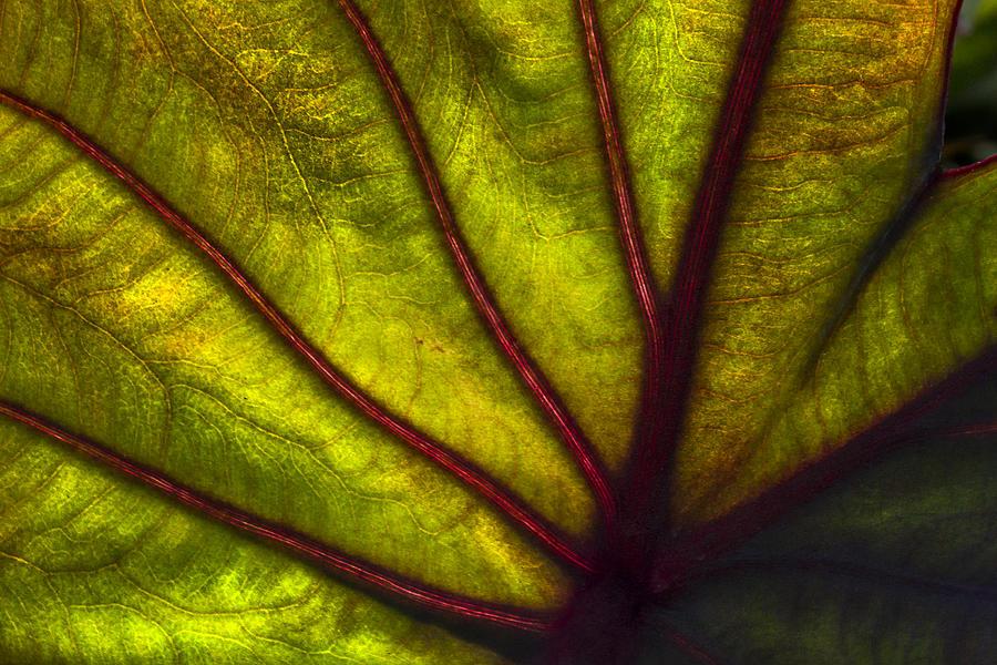Leaves Photograph - Tributaries by Debra and Dave Vanderlaan