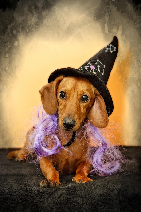 Dachshund Photograph - Trick Or Treat by Susan Candelario