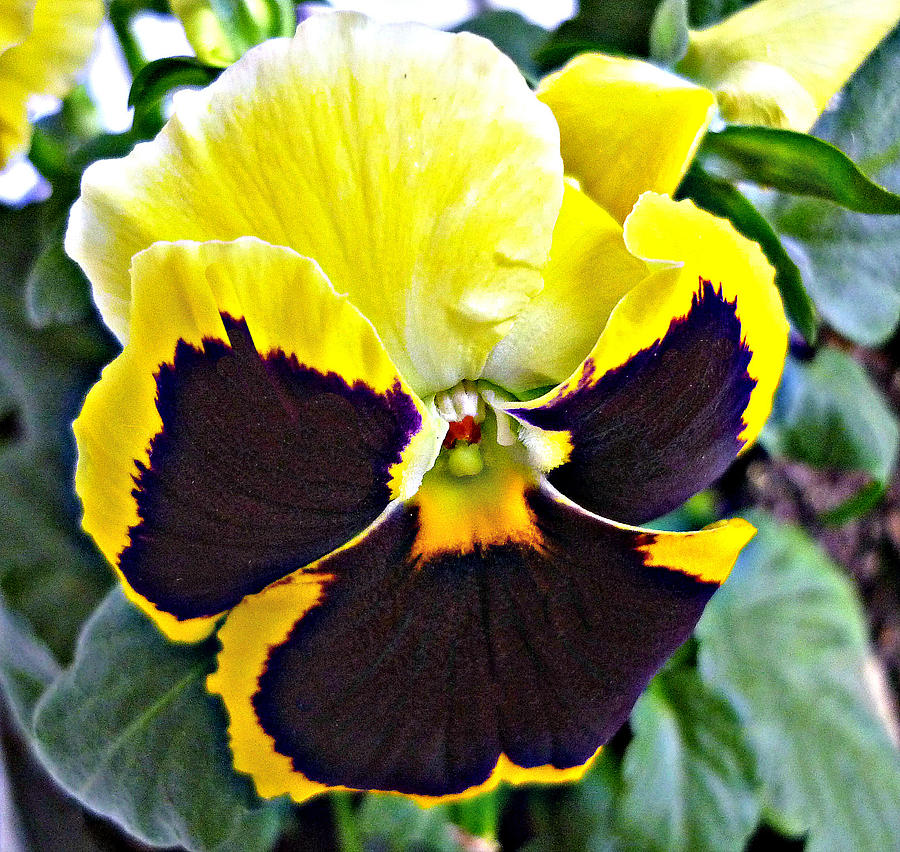 Flower Photograph - Tricolor Pansy by Jo Ann