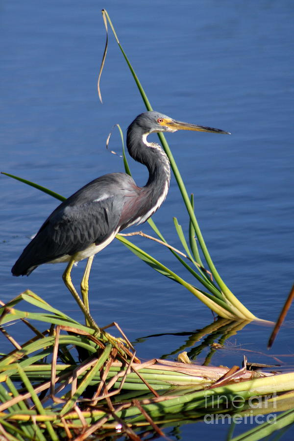 Tricolored Heron Photograph - Tricolored Heron At The Pond by Christiane Schulze Art And Photography