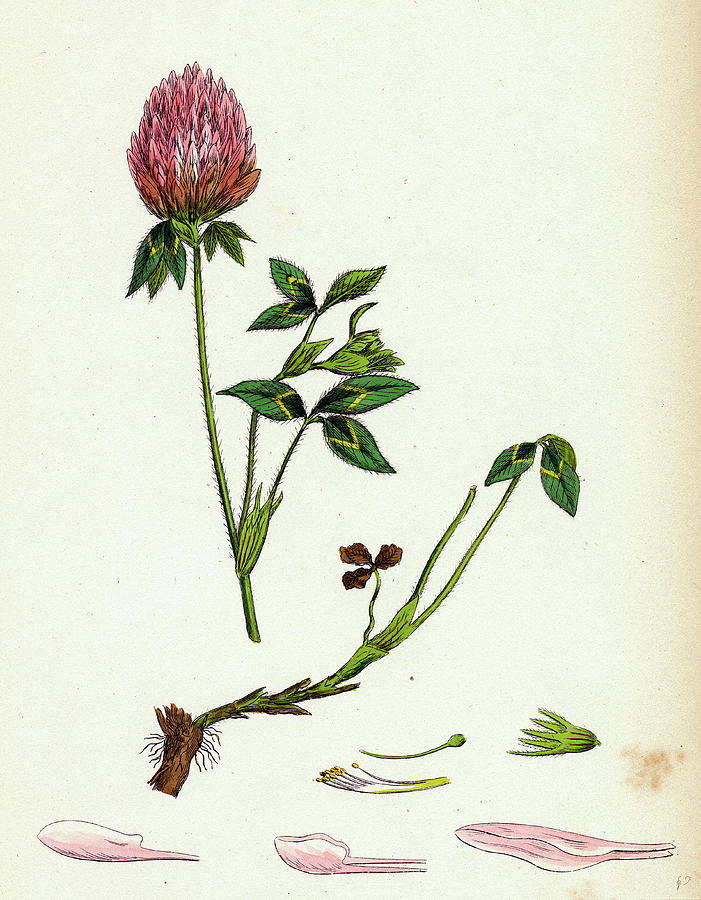 19th century drawing trifolium pratense red clover by english school