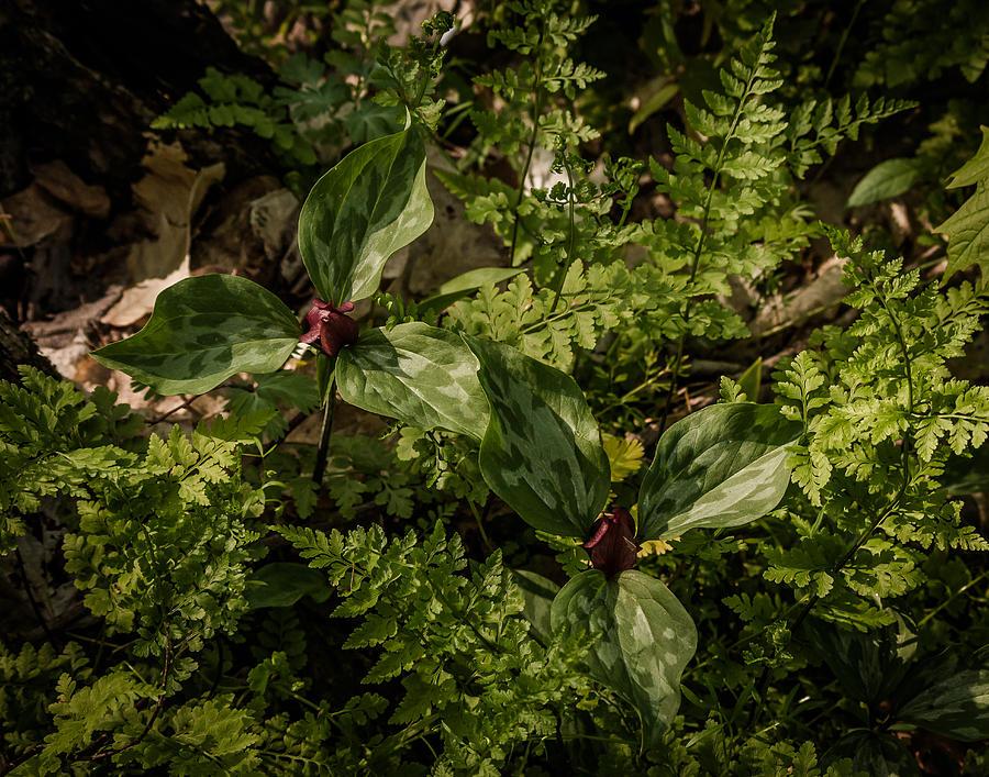 Trilium Photograph - Trilium And Ferns by Jeffrey Frazier
