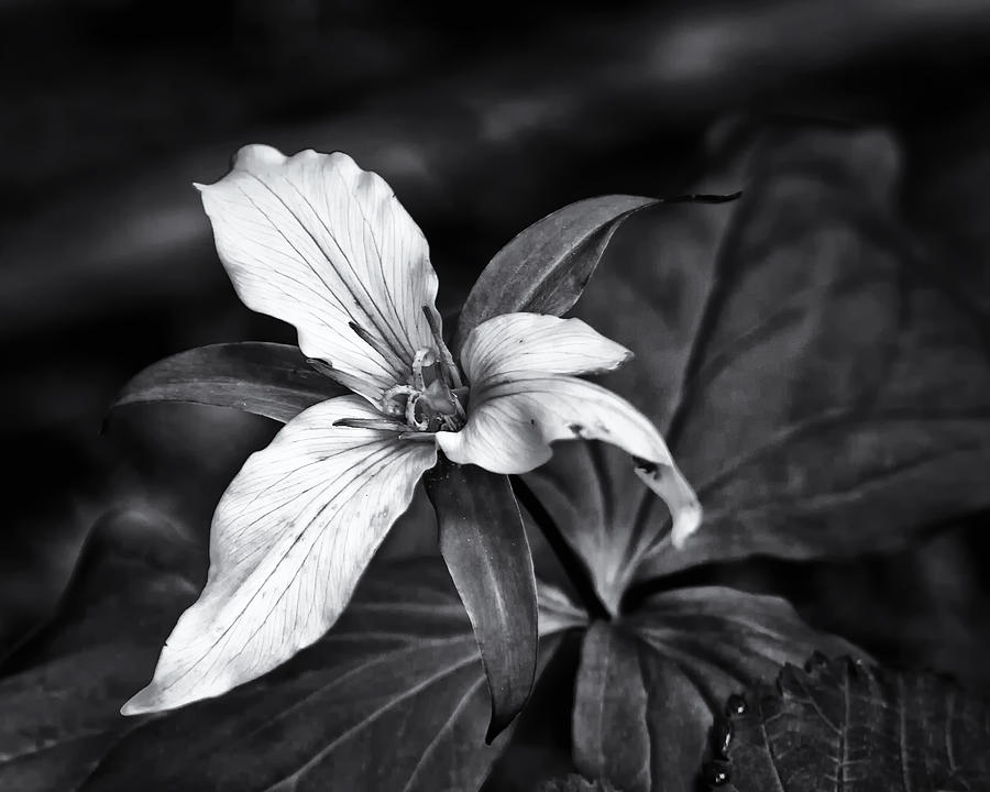 Trillium Flower Photograph - Trillium - Black And White by Belinda Greb