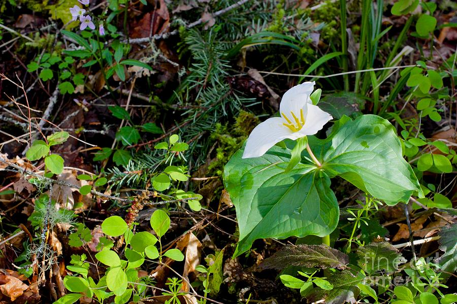 Trillium Dollar Day Photograph - Trillium Dollar Day  by Tim Rice