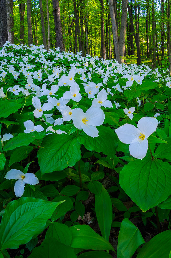 Color Photograph - Trillium Forever by Thomas Pettengill