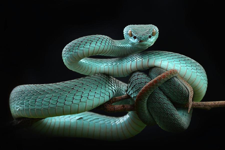 Slitheryn Serpetinus Trimeresurus-insularis-blue-wel-nofri