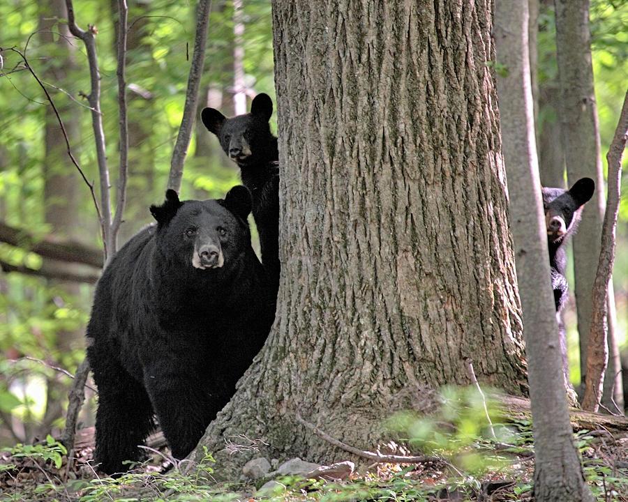 Black Bear Photograph - Trio by Dawn J Benko