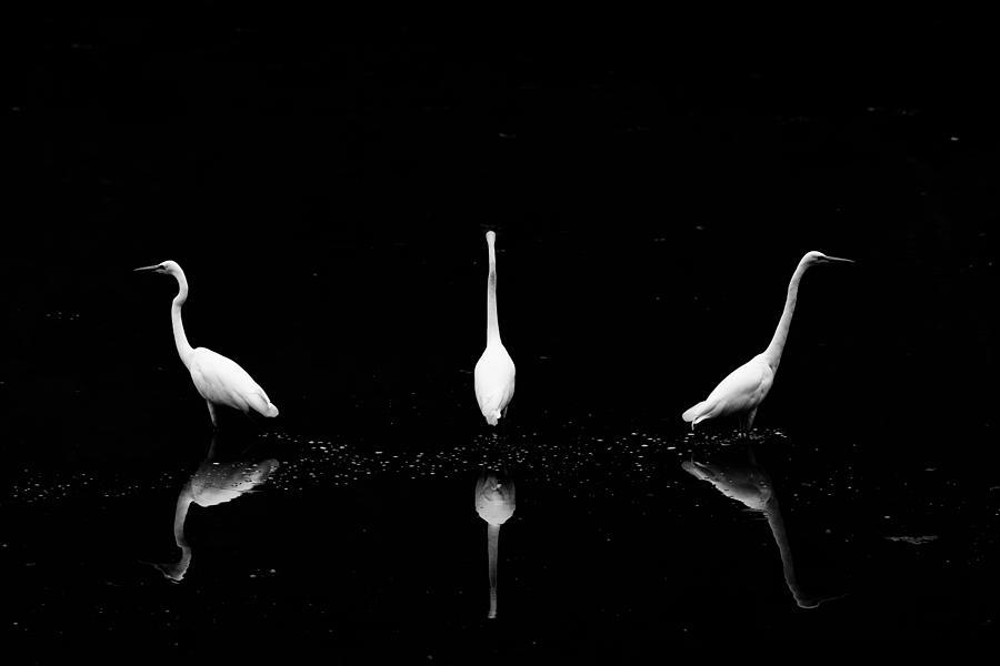 Bird Photograph - Trio Of Egret by Yoshinori Matsui