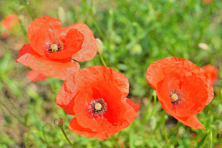Poppies Photograph - Trio of poppies by Patrick Pestre