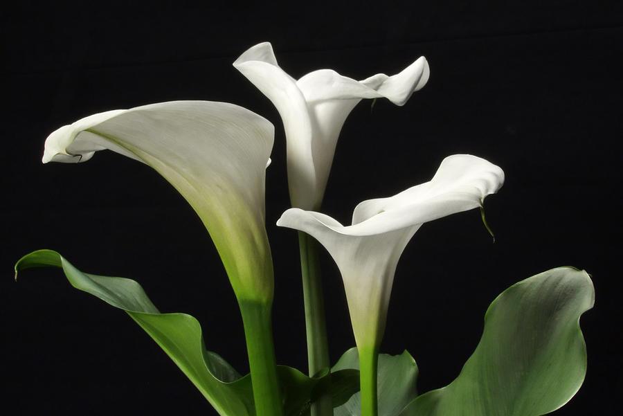 Trio Of White Calla Lilies Photograph