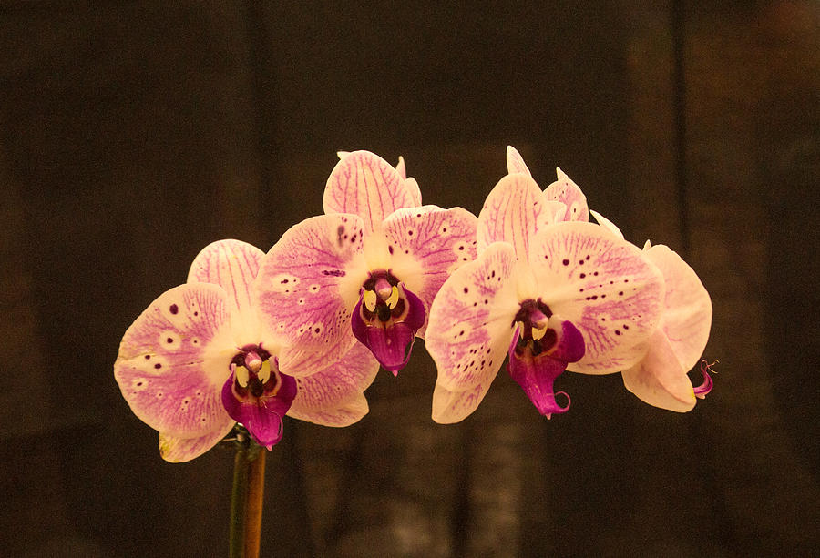 Orchid Photograph - Triple Orchid Arrangement 1 by Douglas Barnett