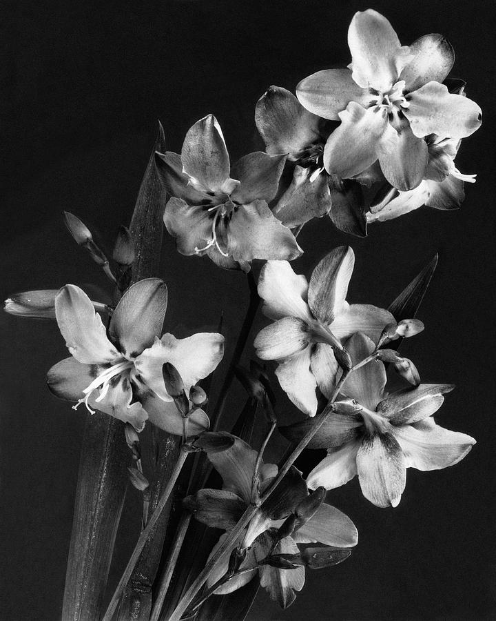 Tritonias Photograph by J. Horace McFarland