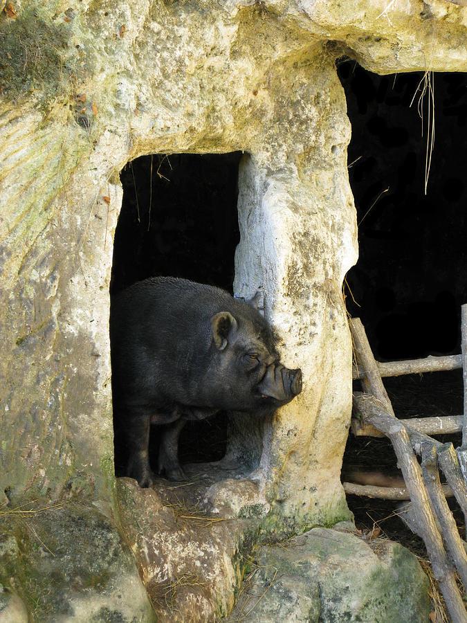 Pig Photograph - Troglodyte Pig by Randi Kuhne