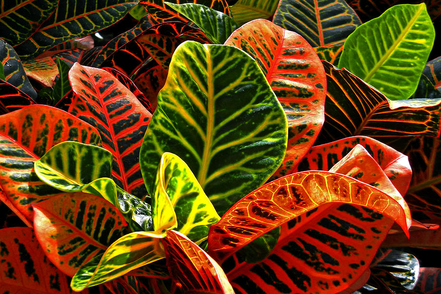 Croton Photograph - Tropical Croton by Bill Swartwout Fine Art Photography