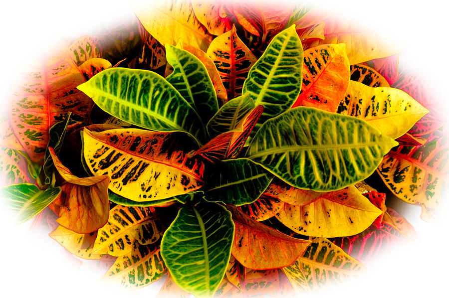 Hawaii Photograph - Tropical Croton Vignette by Lisa Cortez