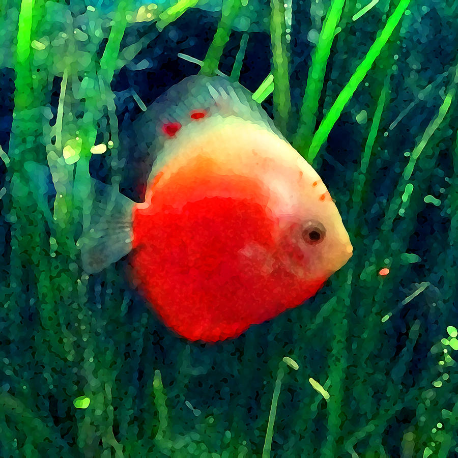 Tropical Discus Fish Photograph by Amy Vangsgard