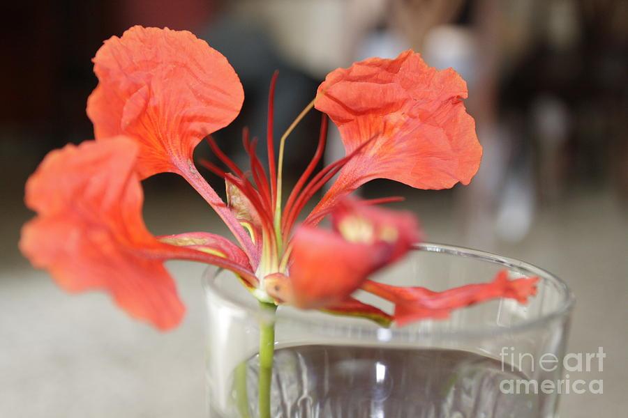 Nature Photograph - Tropical Flamboyant Flower by Arelys Jimenez