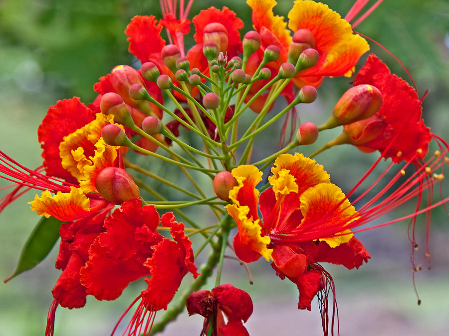 red and yellow tropical flowers  magiel, Natural flower