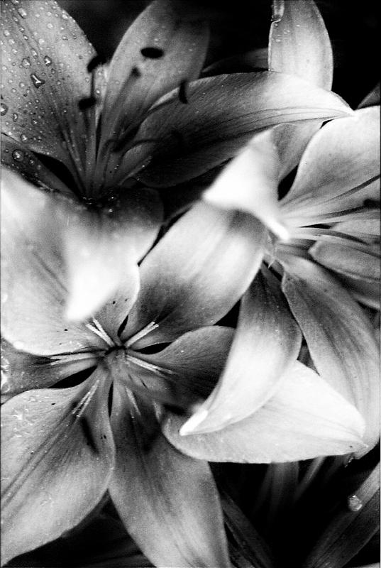 tropical flowers black and white photograph by laurie pike, Beautiful flower
