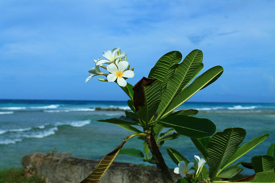 Plumeria Photograph - Tropical Flowers by Catie Canetti