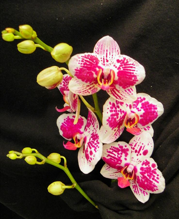 Orchids Photograph - Tropical Orchids by Carolyn Bistline
