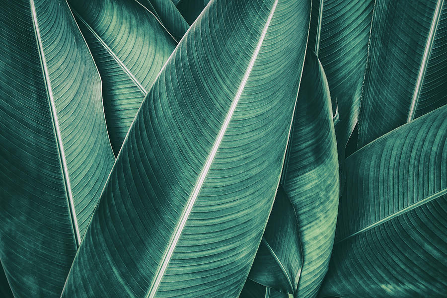 Tropical Palm Leaf Dark Green Toned By Pernsanitfoto