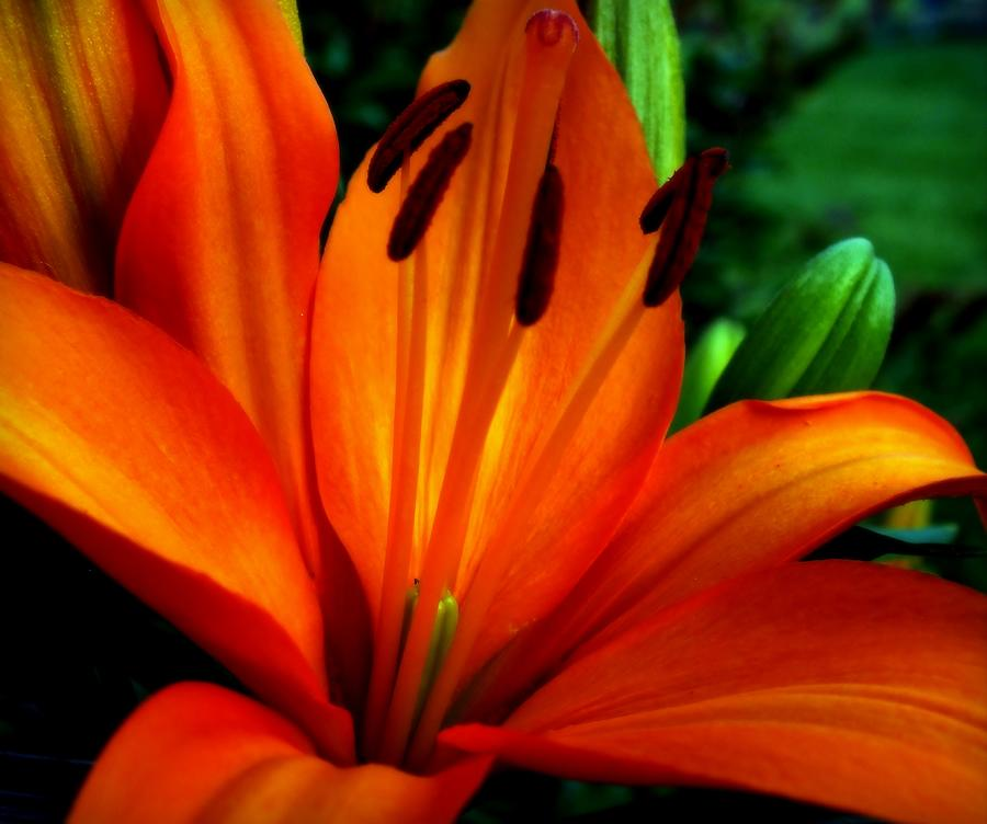 Tiger Lilies Photograph - Tropical Passion by Karen Wiles
