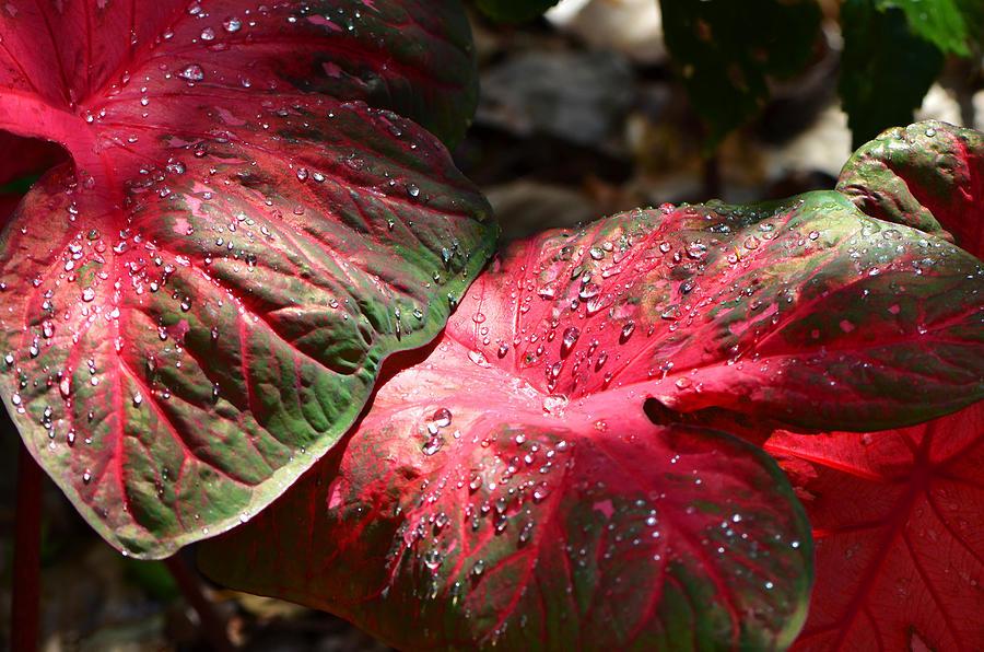 Caladium Photograph - Tropical Rain - Botanical Art by Sharon Cummings by Sharon Cummings