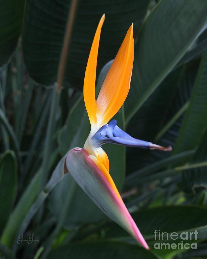 Bird Of Paradise Photograph - Tropical Touch by Geri Glavis