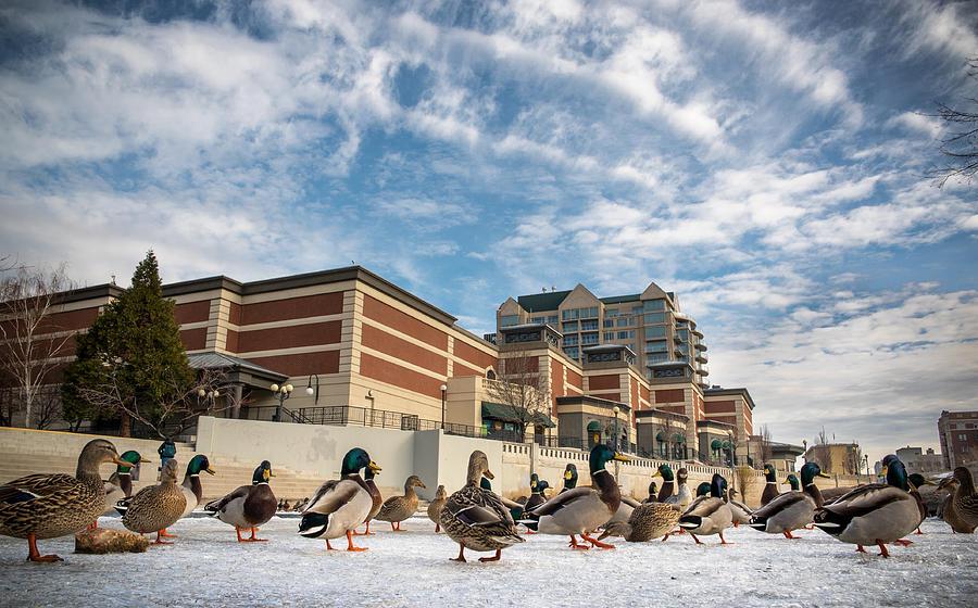 Ducks Photograph - Truckee Ducks by Tony Fuentes